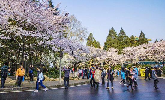 武汉大学樱花大道游人观赏美景